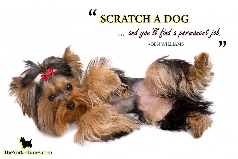 Fun Facts About Yorkie Terriers Yorkie Ville Yorkie Dogs