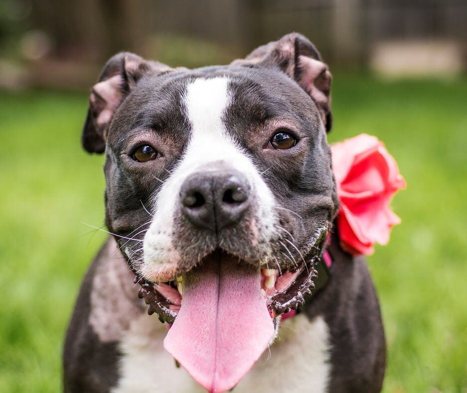 Sweet Petunia In Nj Has Been Waiting All Year For Someone To Pick Her Can Your Rt Find A Foster Or Adoptive Home Fo The Shelter Pet Project Petunias Best Dogs