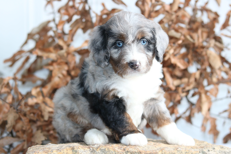 Blue Merle Bernedoodle Puppy Bernedoodle Mini Bernedoodle