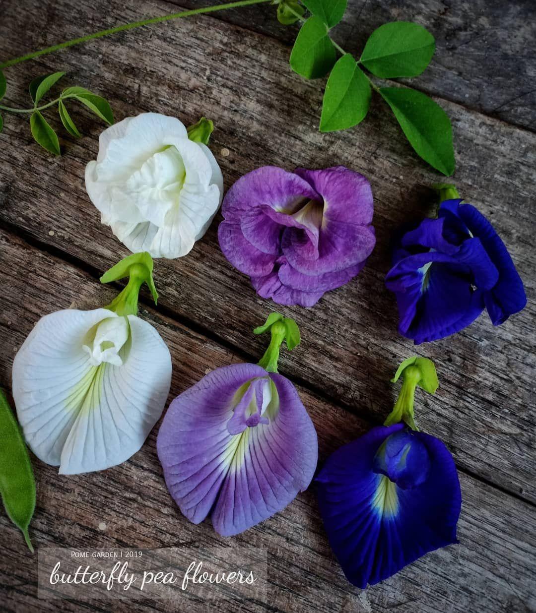 Bunga Telang Clitoria Ternatea Selain Edible Bunganya Yg Merambat Bisa Sekaligus Sebagai Tanaman Hias Dan Peneduh Memiliki Bunga Tanaman Bunga Warna