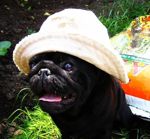 Cute Black Pug In Her Sun Hat Pugs Pugs And Kisses Black Pug