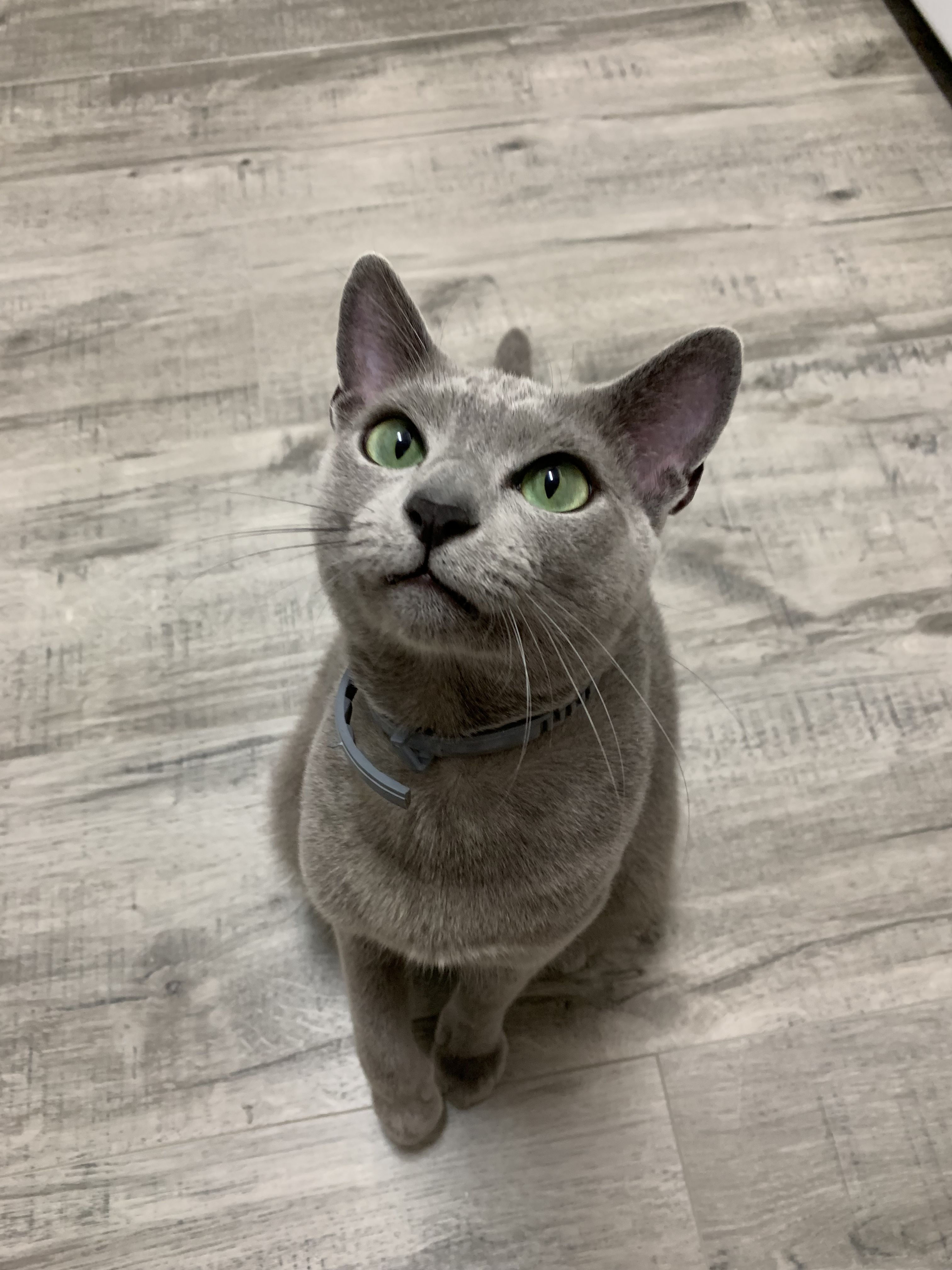 Adorable Russian Blue Cat Russian Blue Kitten Russian Blue