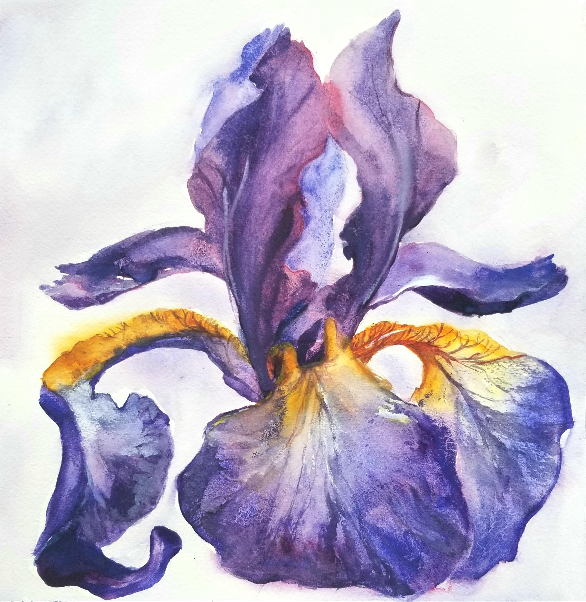 Purple Iris 10 X10 Watercolour Art Flower Artwork Flower