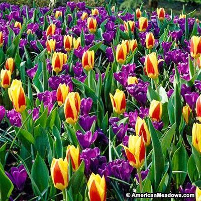Mardi Gras Mix combines stunning Stresa rockgarden tulips and jewel-toned pink/purple Crocus Remembrance.