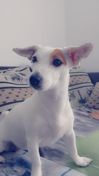 Sucht Drigend Ein Neues Zu Hause Mit Bildern Jack Russell Terrier Terrier Hundebabys
