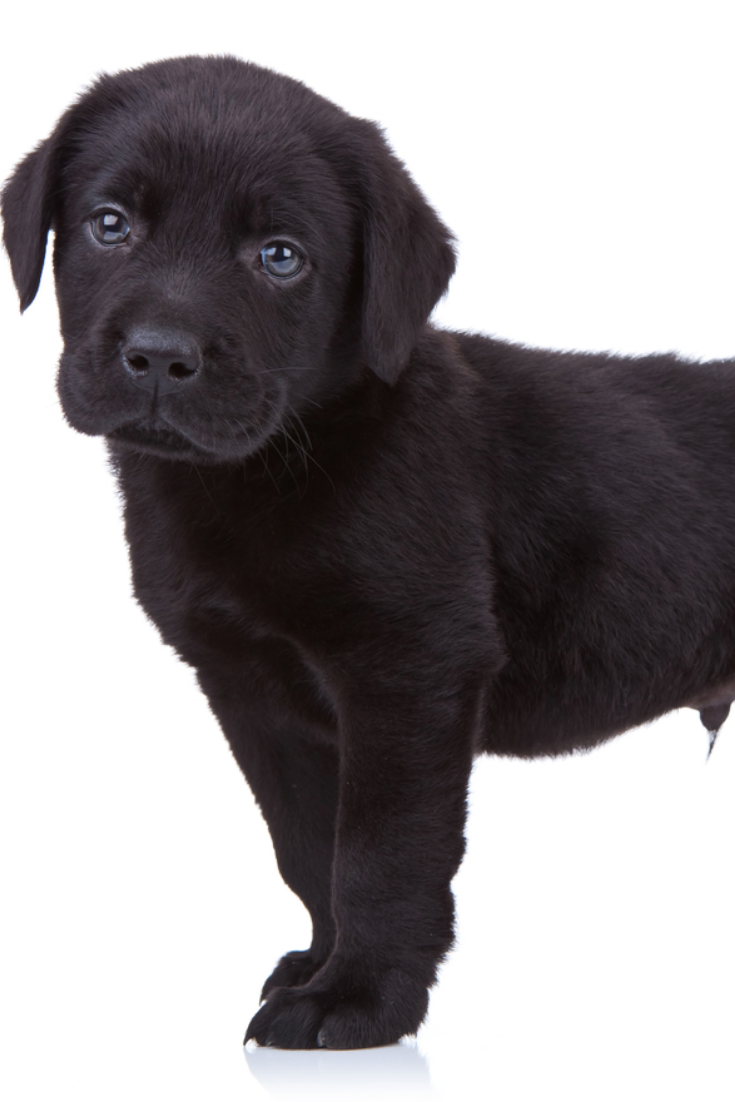 Curious Black Labrador Retriever Puppy Standing On A White Background And Looking At The Golden Retriever Labrador Labrador Retriever Black Labrador Retriever