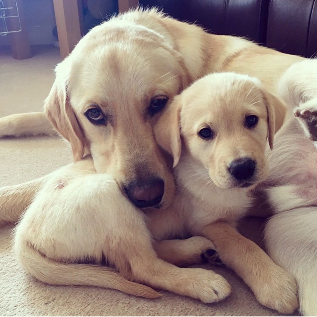 Pw Boarder For Guide Dogs Uk On Instagram National Puppy Day We Have Had Quite A Few Guide Dog Pups Stay Wit Labrador Dog Puppies Labrador Retriever