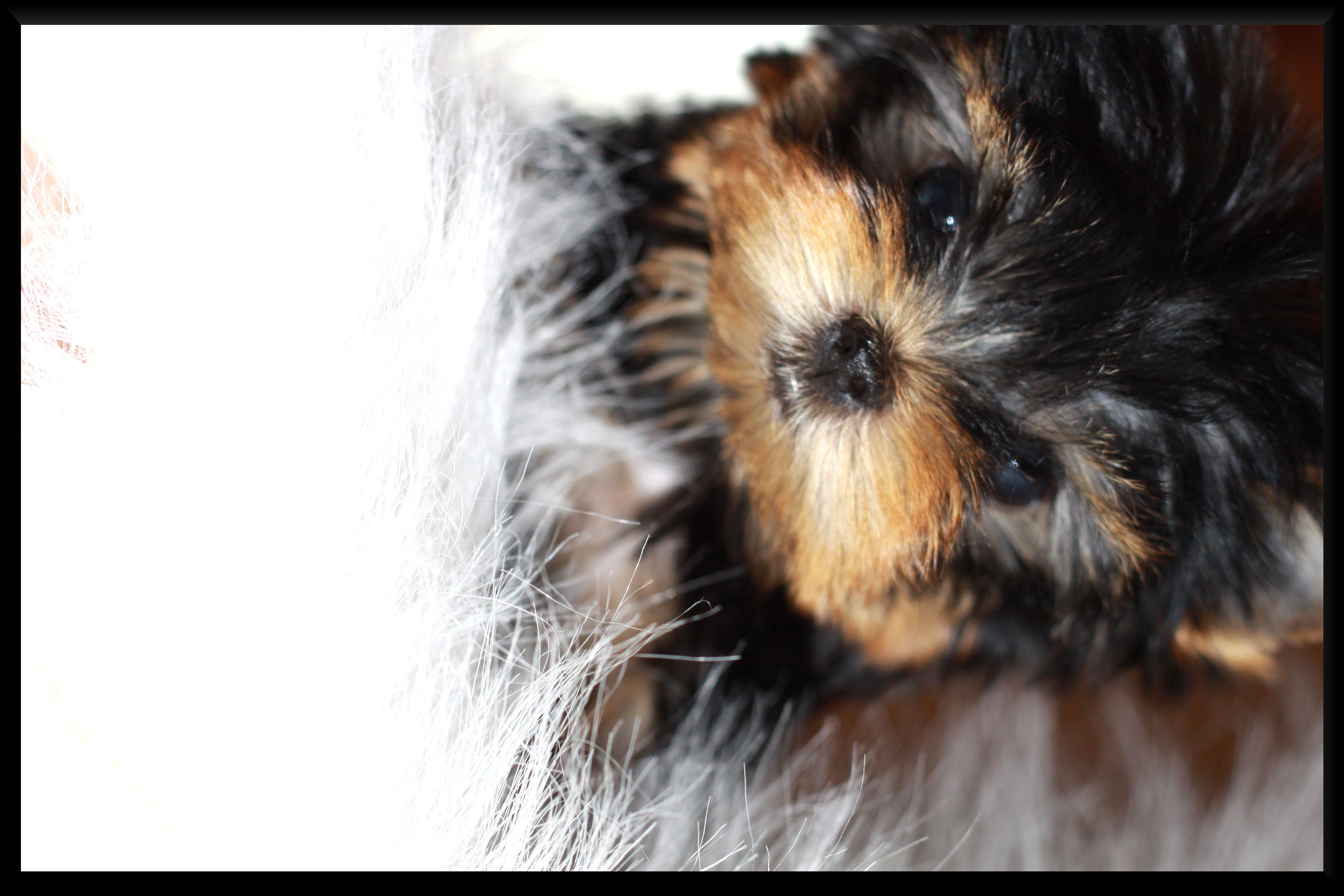 Yorkie dogs for sale in texas