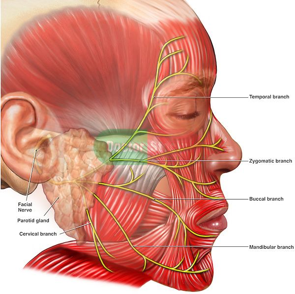 Diagram picture facial nerves