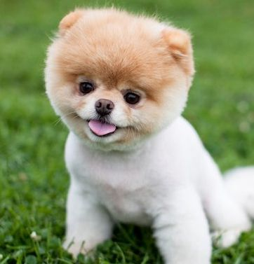 Pictures Of Boo The Cutest Dog In The World