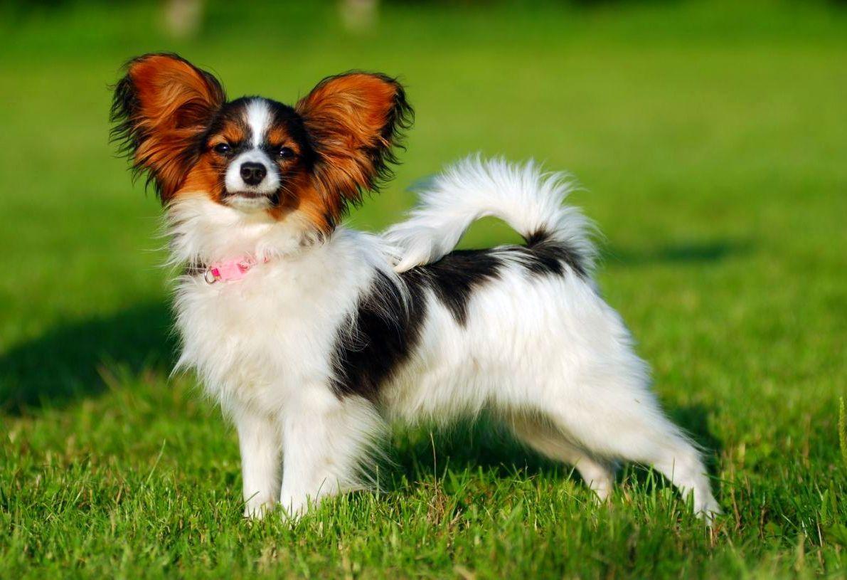 Папильон (фото): собака-бабочка с удивительным характером ...