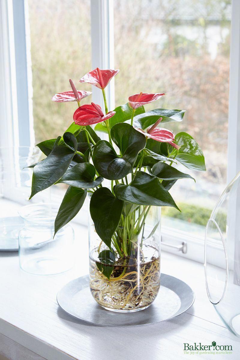 Anthurium Op Water De Nieuwste Bakker Com Trend Hydroponie Hydroponicsplants With Images Hydroponic Plants Plants Anthurium Plant