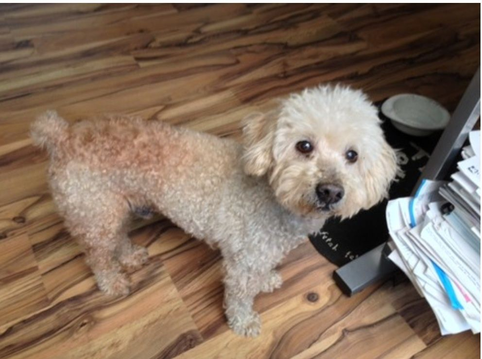 Houston Tx Stray Senior Poodle Still Needs A Home Foster Or