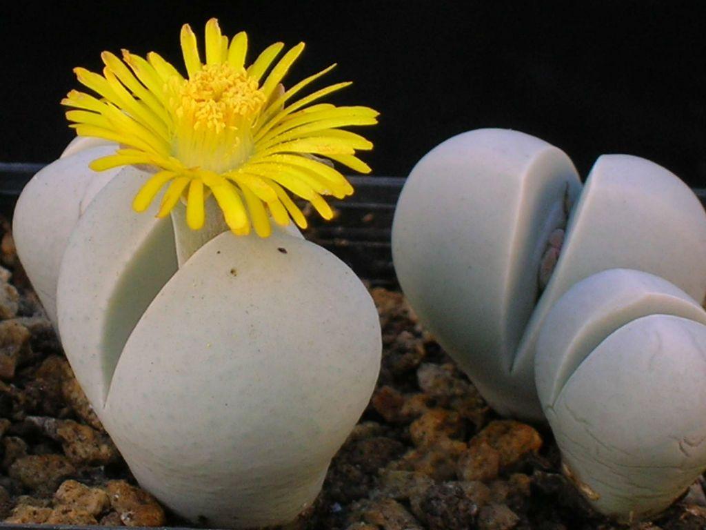 Flower Living stones - seemingly ordinary pebbles
