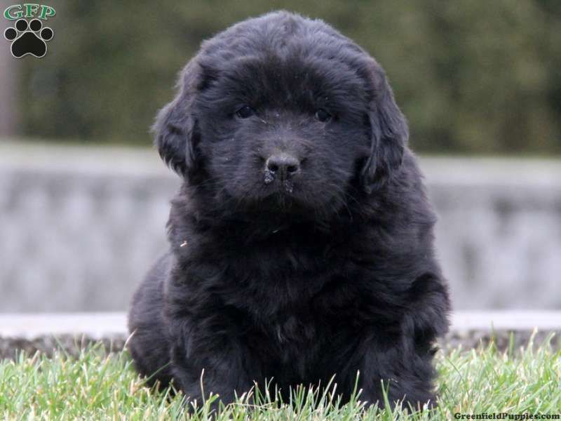 Newfoundland puppies for sale in pa
