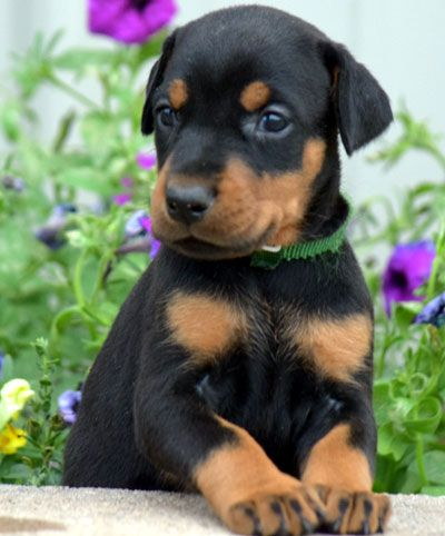 Female Doberman Puppy For Sale Born In Tn Usa Doberman Puppies