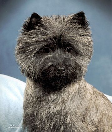 Havenshire Cairn Terriers Cairn Terrier Wire Fox Terrier Terrier