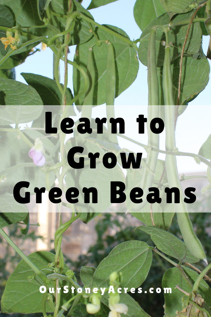 How To Grow Green Beans in Your Garden is part of Growing green beans, Backyard vegetable gardens, Fall garden vegetables, Growing beans, Green beans, Backyard garden - Learning how to grow green beans is a pretty easy process  This post is a very detailed look at what you need to know to grow a great crop of beans!