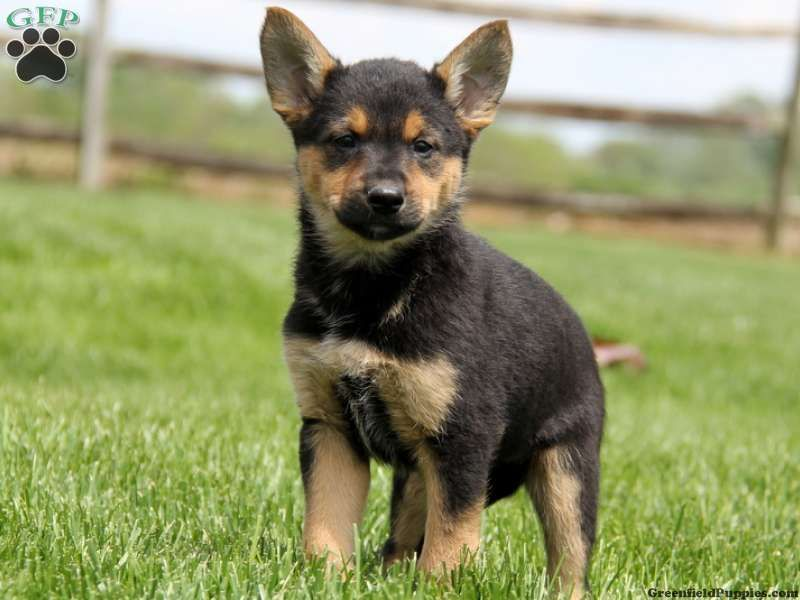 Shiba Inu German Shep Mix Cute Cats And Dogs Dog Breeds German