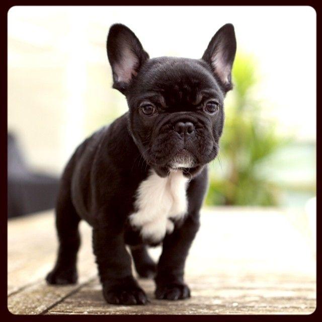 Albie French Bulldog Puppy Frenchie French Bulldog Cute