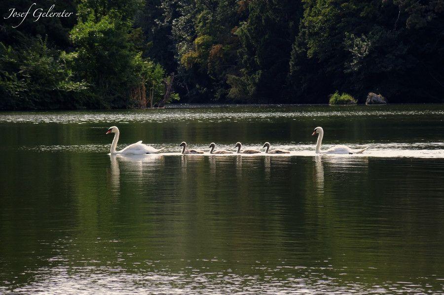 500px / Swan Family by Josef Gelernter