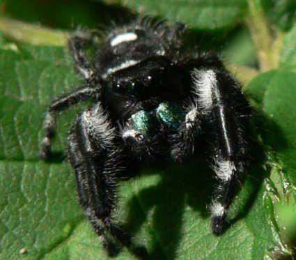 Phidippus audax, the brave jumping spider   Bugs   Spider