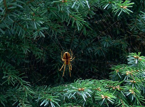 Big Spider ! Epeire