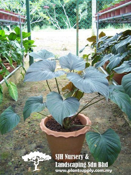 Shrubs With Images Plants Wholesale Plants Wholesale Plant