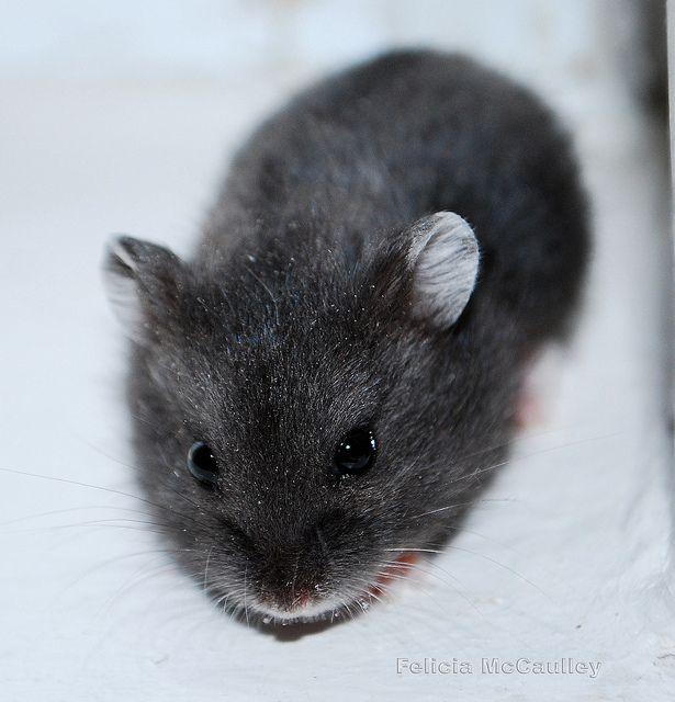 Black Campbell S Dwarf Hamster Dwarf Hamster Hamster Cute Hamsters