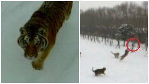 Il drone riprende le tigri siberiane.    Viene inseguito e catturato