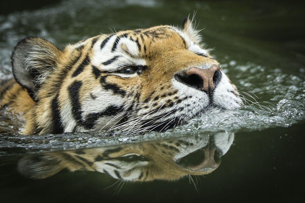 Tiger - Spiegelung di Georg Sieder