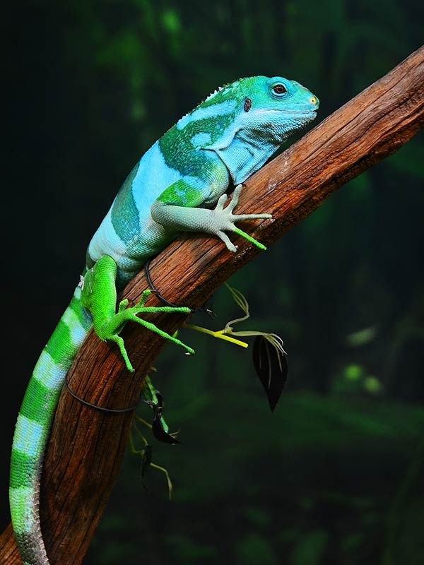Fiji Banded Iguana Brachylophus Fasciatus Is An Arboreal Species Of Lizard Endemic To Some The Southeastern Fijian Islands