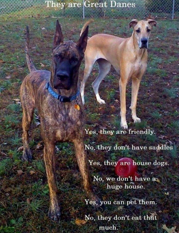 Pin By Sarah Gatewood On Dog Stuff Great Dane Rescue Great Dane
