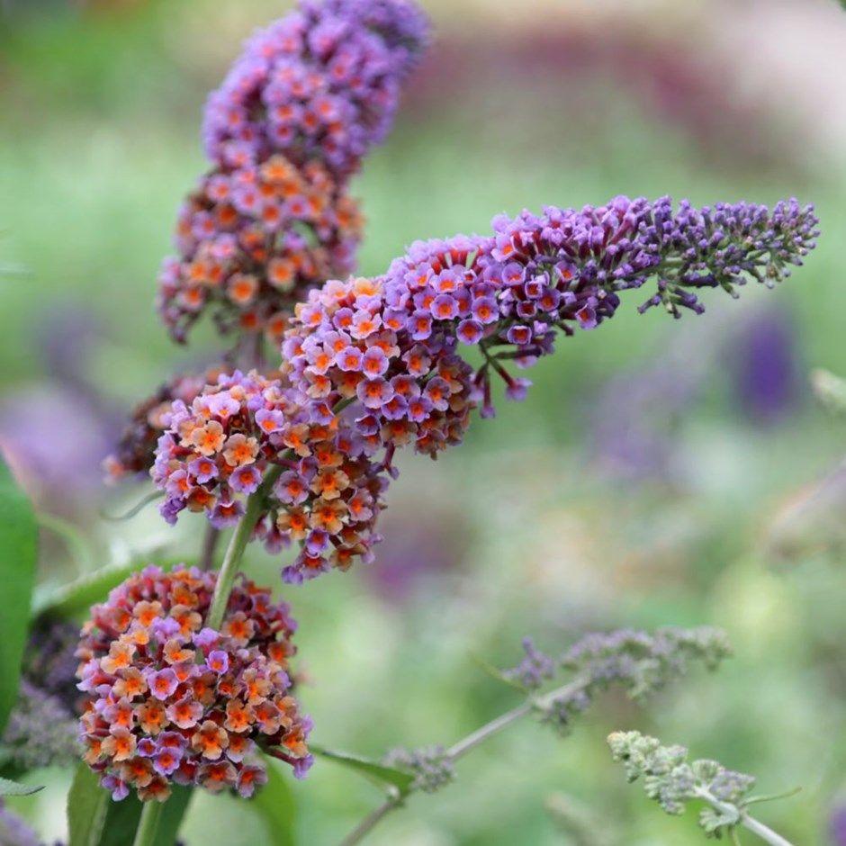 Buy Butterfly Bush Buddleja X Weyeriana Bicolor 17 99 Delivery By Crocus In 2020 Butterfly Bush Fast Growing Flowers Butterfly Plants