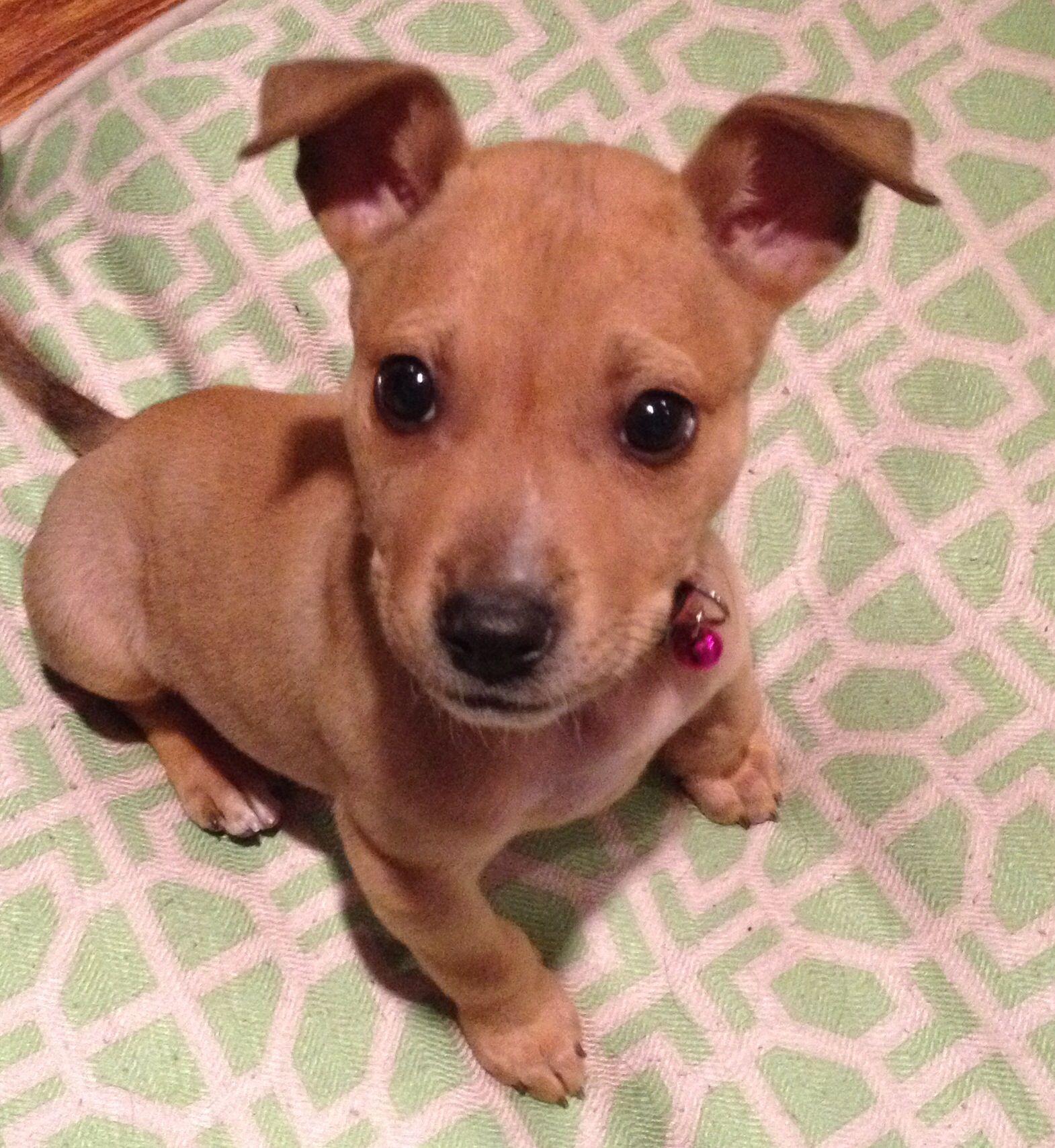 Diego The Chihuahua Dachshund Terrier Mix Cutie Pitbull