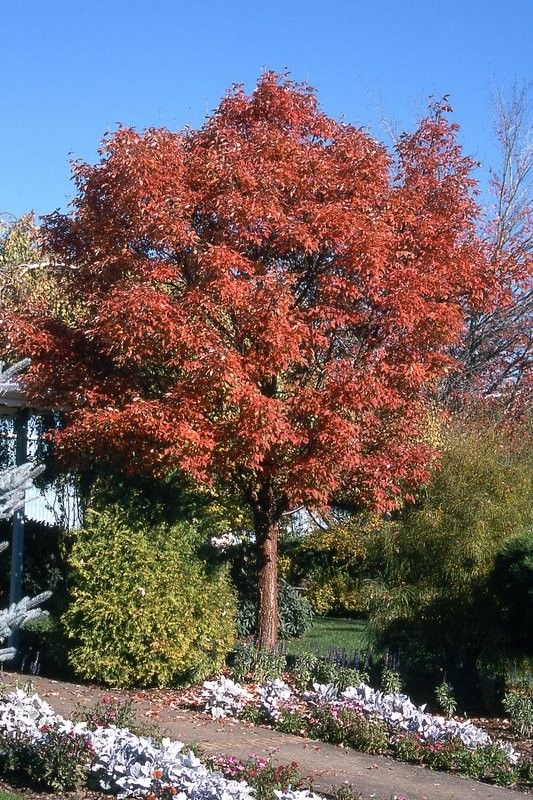Paperbark Maple Why It Rocks A Small Tree Of Rare Beauty This Trifoliate Maple Rsquo S Compound Lea Ornamental Trees Country Garden Decor Fall Color Trees