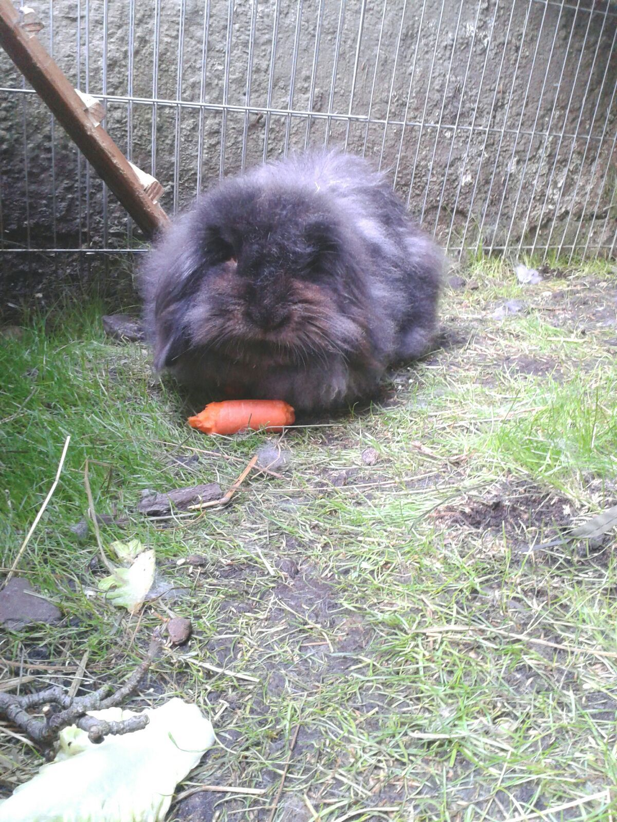 Bounty Kaninchen Pawshake Kaninchen Hase Kaninchen Tiere