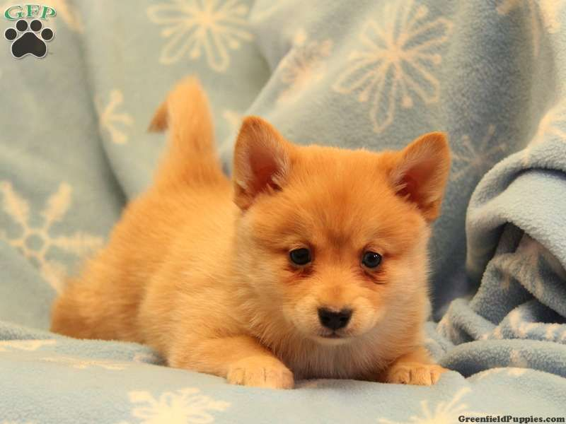 Seaberry Norwegian Pomsky Puppy For Sale In Gap Pa Puppies Pomsky Puppies Cute Animals