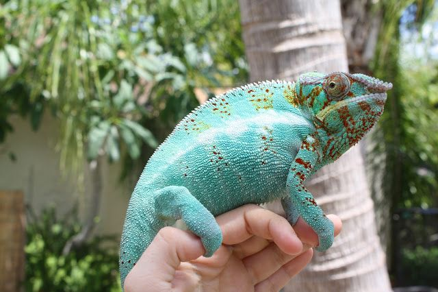 Thoughts On Handling How To Tame A Chameleon Veiled Chameleon Chameleon Care Reptiles