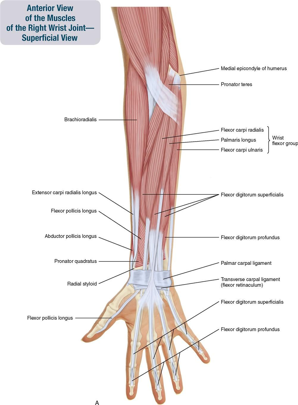 7. Muscles of the Forearm and Hand | Musculoskeletal Key | Anatomy ...