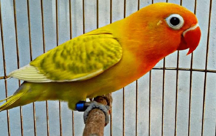 Persilangan Lovebird Blorok Hijau Dan Karakteristiknya Burung Cantik Burung Hijau