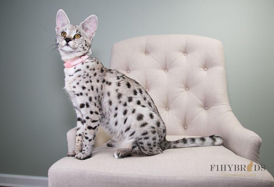F1hybrids Maddy Savannah Cat Savannah Chat Cats And Kittens