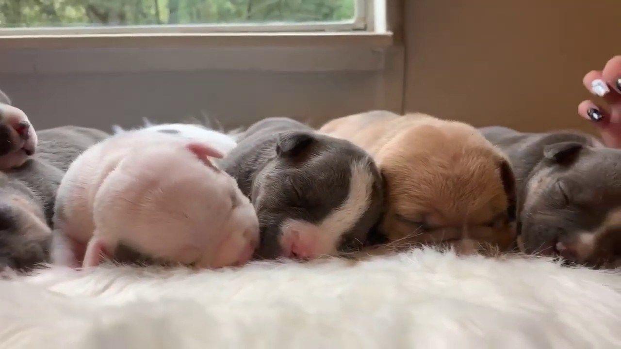 3 Incredible American Bully Puppies For Sale Venomline Top Pocket American Bully Breeders Pocket Bully Puppies Puppies For Sale