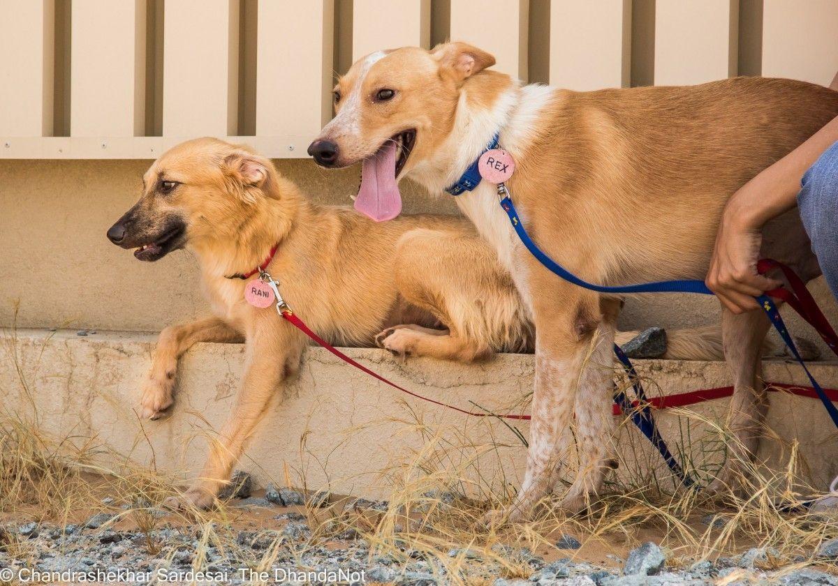 Canaan Dogs For Adoption Dogs Dubai Adopt My Pets Dog Adoption Canaan Dog Dogs