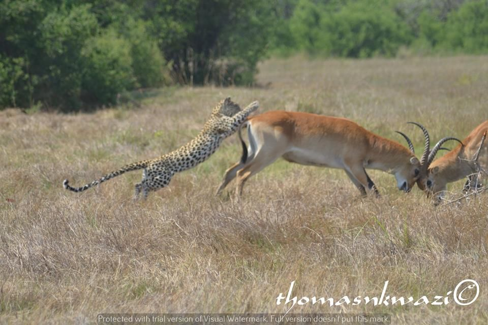"""Funny Wildlife • """"Behind You"""" by Thomas Nkwazi Who's tickling my..."""