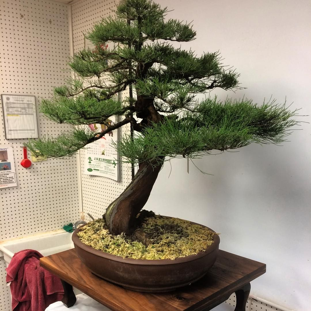 This Bonsai Tree Is Being Displayed On A Walnut Top I Made It S Safely Its Way To New York Bonsaitree Bonsailife Houston Texas