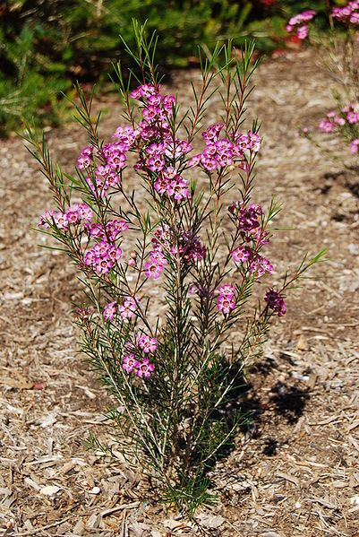 Chamelaucium Uncinatum Geraldton Wax Is A Flowering Plant Endemic To Western Australia It Is An Erec Wax Flowers Planting Flowers Beautiful Flowers Pictures