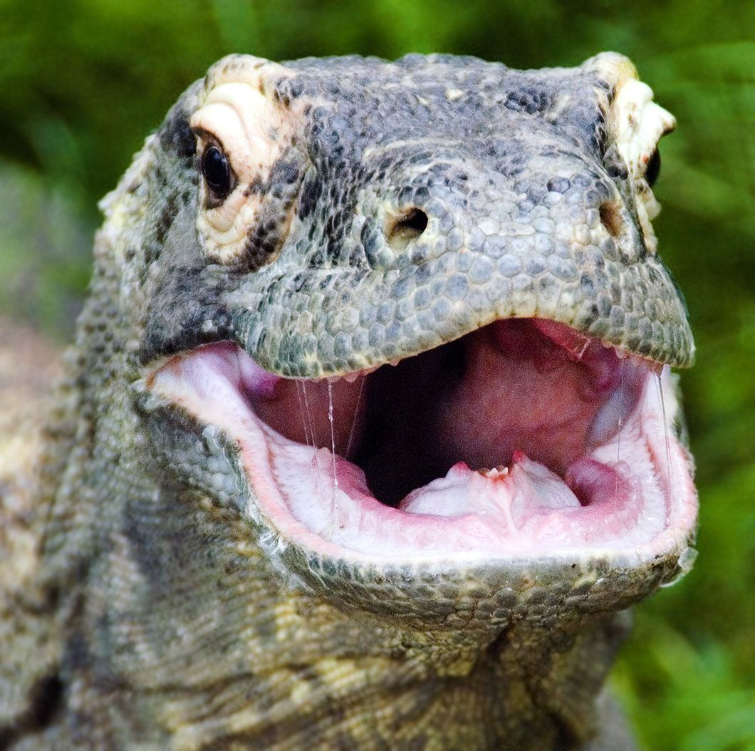 Komodo Dragon Close up | More Komodo dragon, Komodo and ...