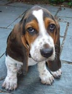 Basset Hound Puppies For Sale In Indiana Hound Puppies Basset