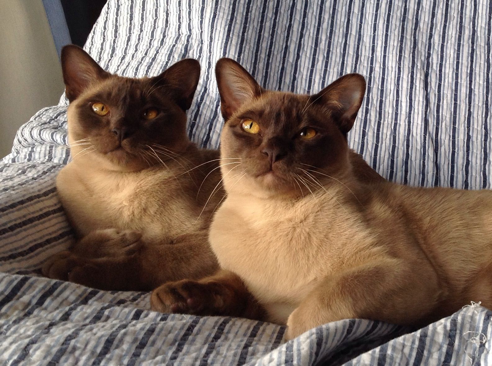 Chocolate Burmese Boys Koshki